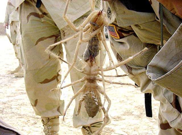 biggest camel spider in world. Giant Camel Spiders